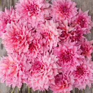 This is called 'Otto's Thrill' - giant eight to 12-inch rosy-pink blossoms and long, strong stems. (Photo courtesy of Floret)