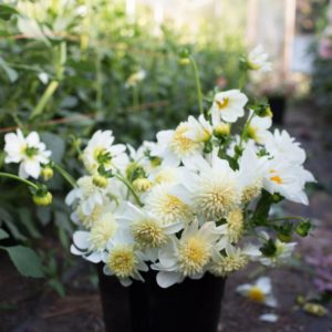 'Platinum Blonde' has unique flowers. Each fuzzy buttercream center on a four-inch anemone-shaped bloom is surrounded by a ring of bright white petals. These long-stemmed flowers bloom abundantly all season long. (Photo courtesy of Floret)