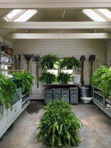After lunch, we walked down to the greenhouse shop. This is where my Boston ferns spend the winter. In a week or two, when the weather is consistently warm, these will be hung around the west terrace and my back porch.