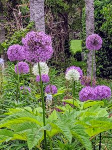 And of course, no one could miss the beautiful alliums – I have so many in bloom along the clematis pergola. Allium species are herbaceous perennials with flowers produced on scapes. They grow from solitary or clustered bulbs.