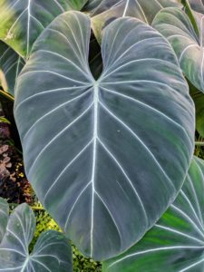 Philodendron gloriosum is a species of plant in the family Araceae, genus Philodendron. It is a crawling, terrestrial plant, native to Colombia whose foliage is velvety soft with pink margins, and pale green, white, or pinkish veins.