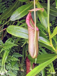 Nepenthes miranda is a very large, robust growing carnivorous tropical pitcher plant. Its large, speckled pitcher can be over 18-inches with a very wide mouth when fully mature. It is very good at catching large insects, such as stink bugs, wasps and yellow jackets.