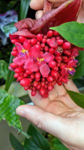 Here is another pretty flower from a Medinilla miniata. The clusters of scarlet-red flowers ringed with bright purple hang from the end of a long stem below the plant. In the wild, it's found growing on logs or trees in the Philippines. I have bright pink Medinillas growing in my greenhouse.
