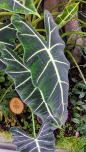 I also love alocasias and have many of my own that I display outdoors during summer. This is Alocasia micholitziana with satiny deep green to black leaves and glowing white veins on 18-inch-long leaves.