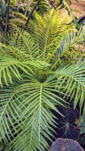 "Blechnum gibbum, commonly called silver lady, is a ""hard fern"" of the genus Blechnum in the family Blechnaceae. It prefers a warm, shady area with lots of moisture."