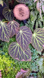 Another begonia - Begonia chloroneura is an extremely rare species with bright lime-green veins that stand out against the dark green upper leaf surfaces and the red undersides of the leaf blades - it is such a striking variety.