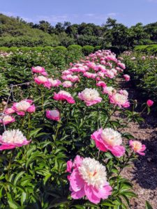 One of the reasons these peonies thrive here at the farm is because of the soil. It has a pH of 6.5 to 7.0, which is ideal. It is also amended with superphosphate and Azomite, a natural product mined from an ancient mineral deposit in Utah. These natural additives improve root systems and overall plant vigor, resulting in this fantastic profusion of blooms.