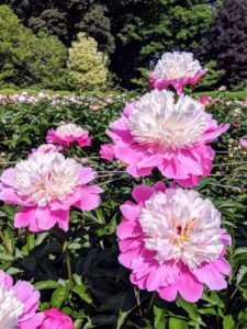 Peonies are considered northern flowers – they tolerate and even prefer cold winter temperatures. They are hardy in zones 3 through 8 and need more than 400-hours of temperatures below 40-degrees Fahrenheit annually to break dormancy and bloom properly.