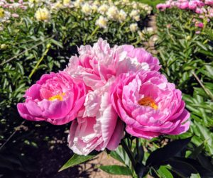 Peonies bloom for about seven to 10 days, but their shining green foliage lasts the season before dying back to the ground in winter. To perform best, peony plants should get at least five hours of full sun with rich, well-drained soil.