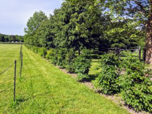 If you recall, we planted two new hedges on both the east and west sides of the South Paddock. I chose a collection of European beech trees, Fagus sylvatica, or the common beech - a deciduous tree belonging to the beech family Fagaceae and native to the woodlands of central and southern Europe. They are all growing very nicely.