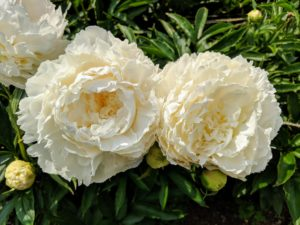 Peony blooms range from simple blossoms to complex clusters.