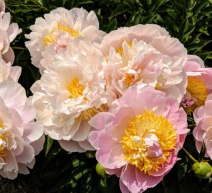 Other varieties in the collection are 'Elsa Sass', 'Victorian Blush', 'Fringed Ivory', 'Martha', 'Madylone', 'Lullaby Coos', 'Vivid Glow', 'Angel Cheeks', 'Miss America' and 'Flying Pink Saucers'.