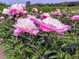 If needed, give a balanced perennial fertilizer. Peonies love potassium. It is essential for stem strength but also helps promote strong flower production.