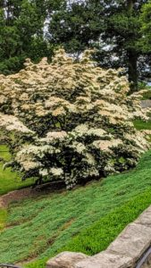 We also passed this flowering Cornus kousa, a small deciduous tree in the family Cornaceae. You may know it by one of its other common names - kousa dogwood, Chinese dogwood, Korean dogwood, and Japanese dogwood.