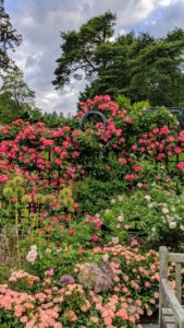 There are blooming roses everywhere making this one of the most visited spots at NYBG from May to October. In the foreground, low growing 'Peach Drift', and the red climbing rose is 'Winner's Circle'.