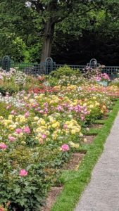 Here is a view across the beds of some modern-day roses that require little or no spraying. Some of them include 'Wedding Bells', 'Karl Ploberger', and 'Soeur Emmanuelle'.