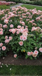 """'Mother of Pearl' has an almost perfect flower shape. It is very hardy and disease resistant and was selected as the """"Best Shrub Rose"""" by Birds & Blooms in 2014."""
