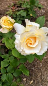 'Divine Miss M' is a luscious white rose with a little vanilla fragrance, named after singer Bette Midler to honor her work as founder of the New York Restoration Society.