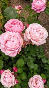 'Soeur Emmanuelle' is a pink and lilac colored rose with strong, anise-lavender fragrance. It has large, very full cupped blooms which show off lots of petals throughout the season.