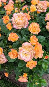 'Garden Delight' has a yellow center with vivid pink edges that deepen with exposure to sunlight. The blooms grow in clusters and are old-fashioned, large and double in form.
