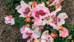 'In Your Eyes' is a gorgeous new shrub rose that produces luxuriant clusters of three to five roses on its full, rounded form. Blooms start out a creamy yellow color accented by a red eye, maturing to soft lavender-pink with a rich purple eye. A delightful fruity fragrance accompanies these beautiful flowers.