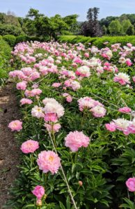 In early June, the beds are overflowing with beautiful peonies. Herbaceous peonies grow two to four feet tall with sturdy stems and blooms that can reach up to 10-inches wide. We spaced the plants about three to four feet apart to avoid any competing roots.
