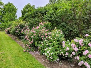 This collection of rose bushes is planted in the lilac allee just past my chicken coops and near my tennis court. It is filled with various shades of pink, fragrant rose blooms.