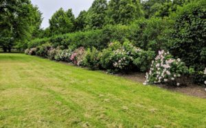 This collection of rose bushes is planted just past my chicken coops and vegetable garden. During late spring and summer, this area is filled with various shades of pink, fragrant rose blooms.