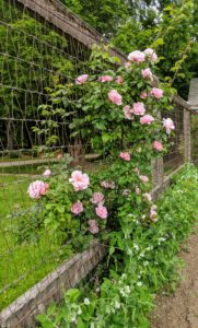I also have climbing roses growing along the fence of my vegetable garden.