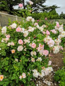More roses grow around the perimeter of the fence - they're all bursting with blooms.