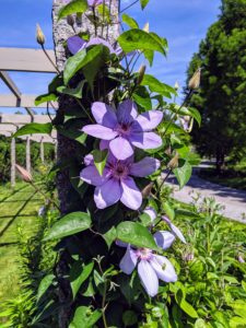 The group got to see some of the beautiful clematis blooming around each granite upright along the pergola. There are several different varieties planted, but each pair of posts supports the same kind, and all in sparkling shades of lavender, blue and purple.