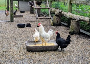 Outside, all the other chickens are curious and watching all the activity. Early morning and late afternoon, these birds are given cracked corn. They also get plenty of vegetable matter from my gardens.