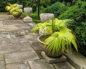 These Mexican fan palms are perfect for these pots - I love the rounded crown of the fan-shaped, dark green fronds.