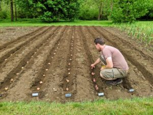 Ryan places all the corms before backfilling - doing this in an assembly line process is faster and more efficient - especially when planting hundreds.