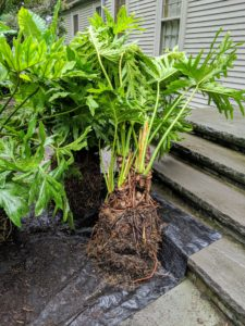 Here is one of the philodendrons after it is removed from the bigger container.