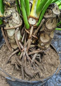 These aerial roots can be trained to climb or directed into the soil. The tough roots grow downward from the thick stem and will root if they touch the ground.