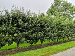 After their refreshments, the group walked down the carriage road to see these Malus 'Gravenstein' espalier apple trees.