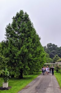 As they walked back to their cars, the group passed the tall bald cypress trees - so full and majestic. It was a lovely tour with a wonderful group of visitors. I am glad the rain stopped just in time.