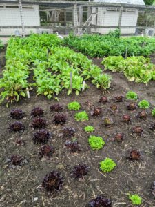 Everything is growing so wonderfully in the vegetable garden - we will harvest soon.