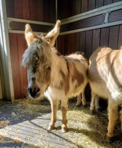 "This is the ""jenny"" I named Jude Junior - she's about two years old. She is the second jenny to join the herd - Billie is also a female donkey."