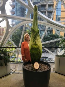 And here I am looking up at this amazing Amorphophallus titanum, also known as the titan arum, the largest flowering structure in the world, reaching 10 or 12 feet in height and five feet in width when open.