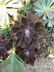 Many Echeveria species are popular as ornamental garden plants. They are drought-resistant, although they do better with regular deep watering and fertilizing.