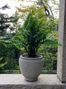Ferns can add dramatic beauty to any planter. A fern is a member of a group of roughly 12-thousand species of vascular plants. In general, ferns are low-maintenance, hardy plants. They require lots of shade and ambient sunlight.