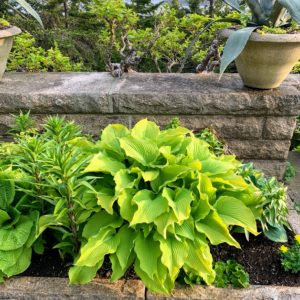 In this bed – the hostas and lilies are thriving.