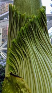 Here is a closer look at the sides of the plant. Due to its odor, which is like the smell of a rotting corpse or carcass, the titan arum is also known as the corpse flower or corpse plant.