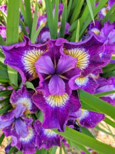 "Here is a beautiful purple and yellow iris. Iris is a genus of almost 300-species of flowering plants with showy blooms. The distinctive flowers have three large outer petals called ""falls"" and three inner upright petals called ""standards."""
