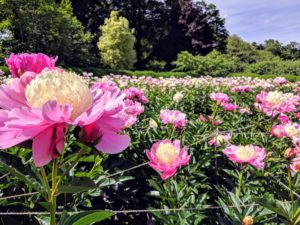 Nearby, the herbaceous peony bed is glistening with bright pink and white blooms – we see more and more open every day. When this garden was created, I planted 11-rows of peonies, with two varieties in each row. Peonies are undemanding, but they do need a winter dormant period in order to flourish in spring.
