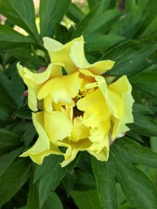 This peony is still unfurling. They come in colors that include yellow, white, pink, magenta and dark maroon.