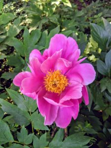 Unlike the more common herbaceous peonies, which flop over if not staked, tree peonies bloom on graceful woody stems.