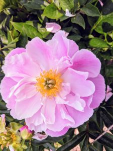 Peonies usually bloom quite easily, but if your peonies aren't blooming, the plants may need more light.